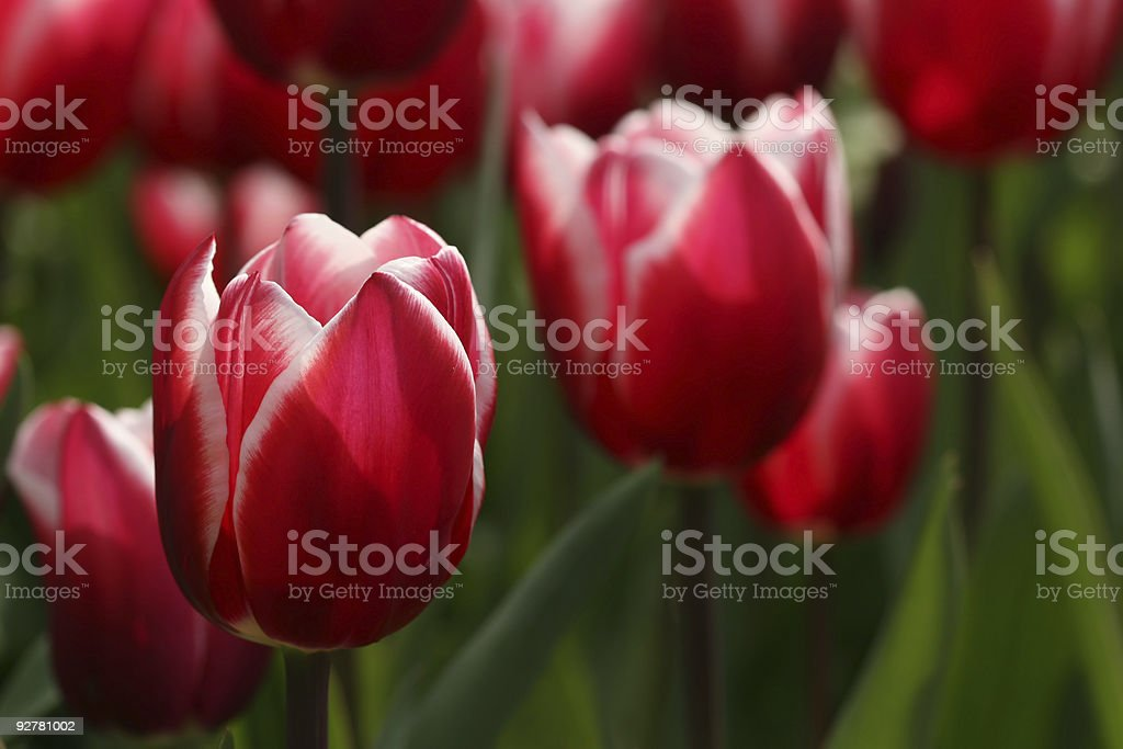 Red and white colored tulips stock photo