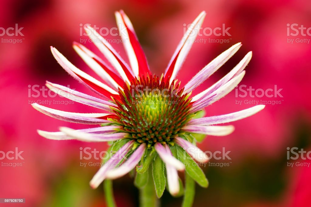 Red and white Daisy stock photo