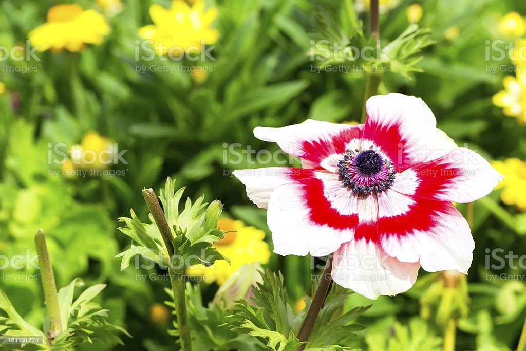 Red and white flower in a garden royalty-free stock photo