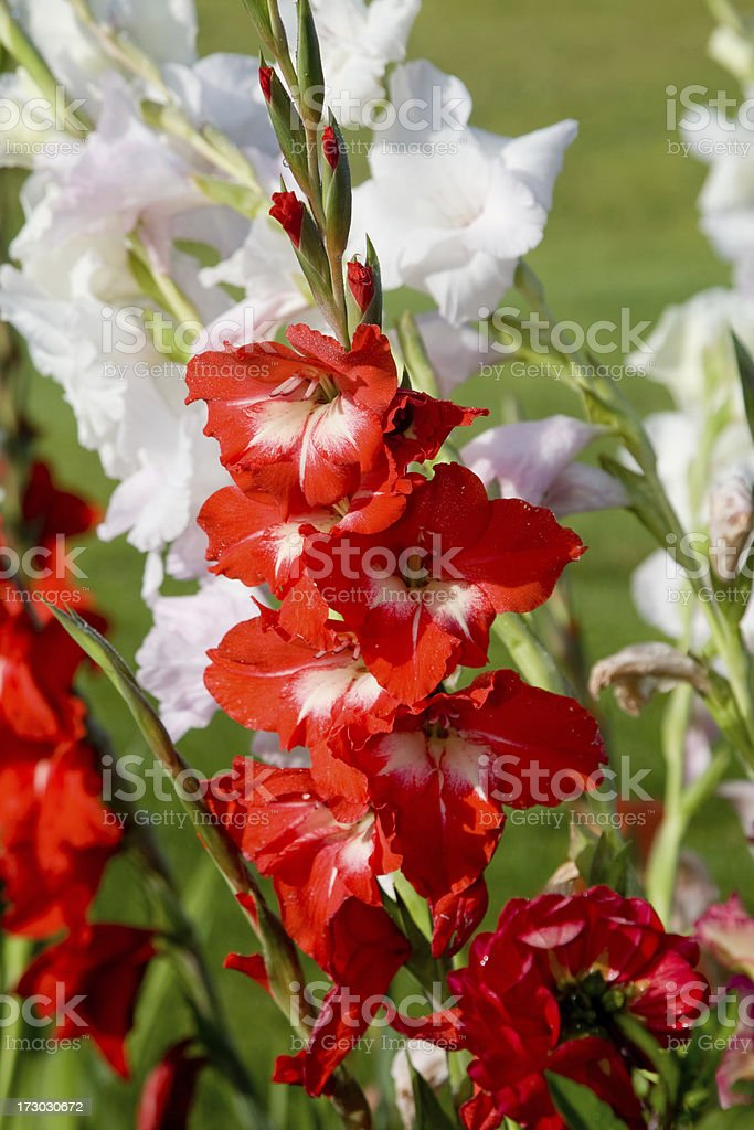 Red and White Gladiolus royalty-free stock photo