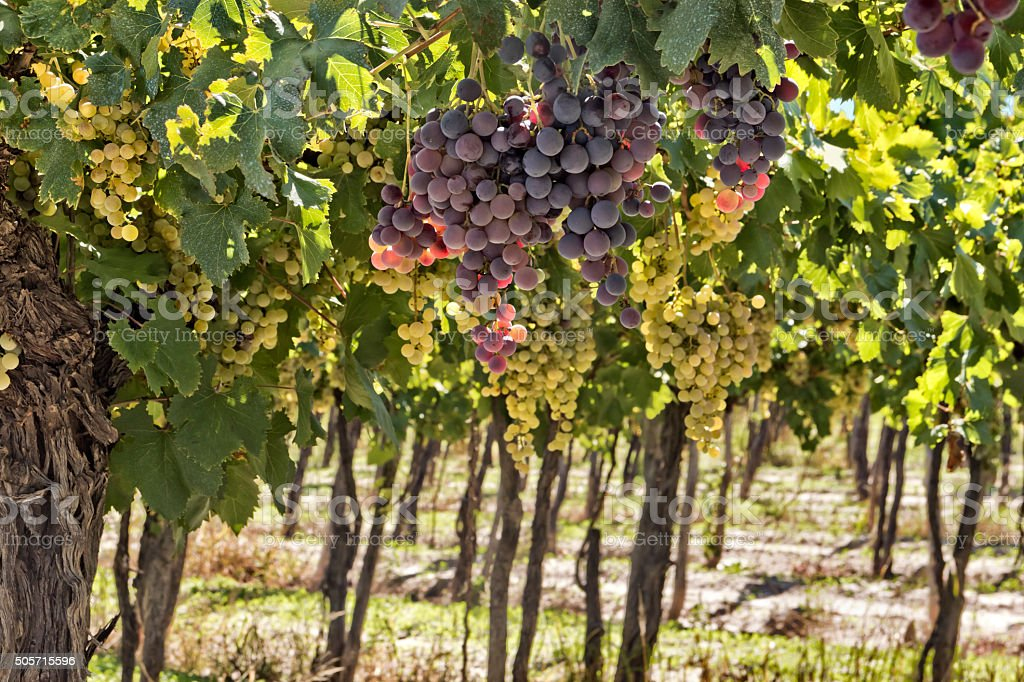 Red and white grapes stock photo