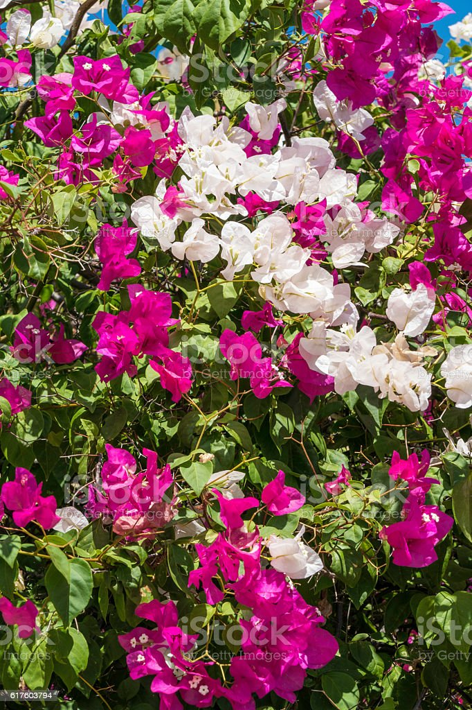 Red and white hibrid bougainvillea tropical flowers stock photo