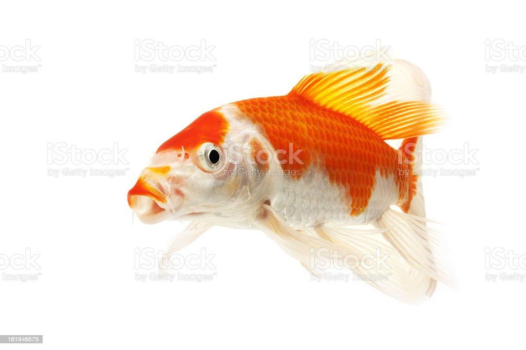Red and White Koi Fish stock photo