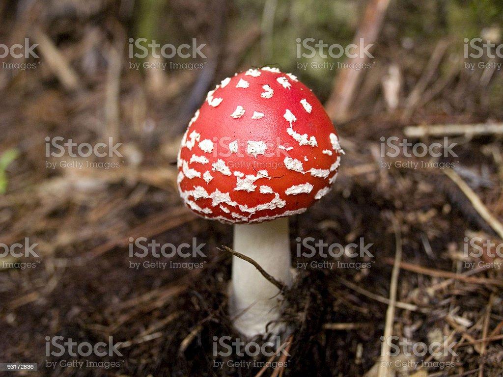 Red and White Mushroom stock photo