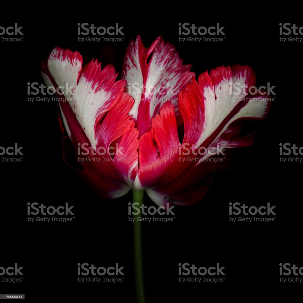 XXXL: Red and White Parrot Tulip with black background stock photo