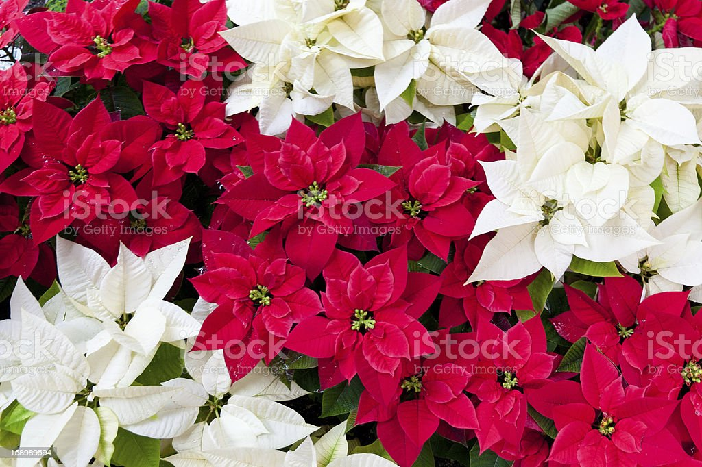 Red and white poinsettias, Christmas flowers royalty-free stock photo