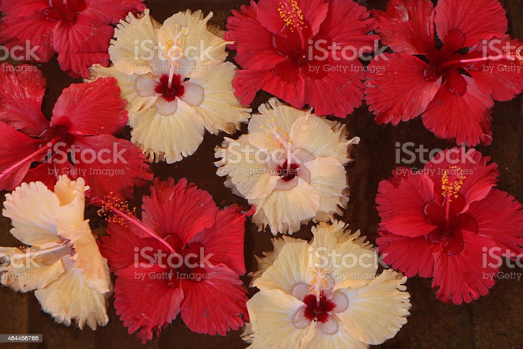 Red and White Shoe Flower in Water royalty-free stock photo