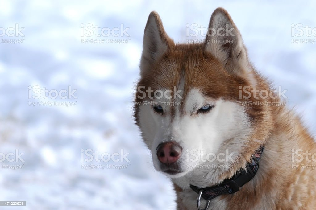 Red and White Siberian Husky In Snow stock photo