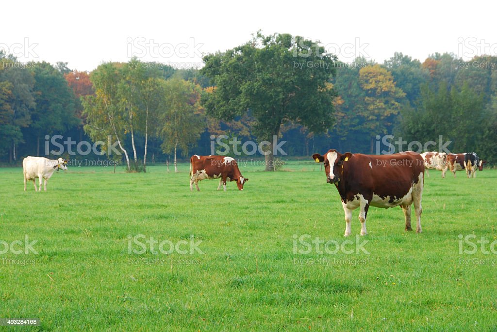 Red and white spotted milch cows standing in a pasture. stock photo