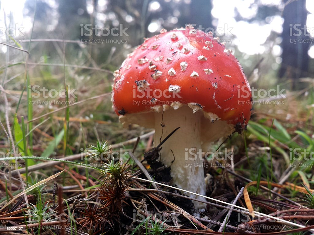 Red and White Spotted Toad Stool underside royalty-free stock photo