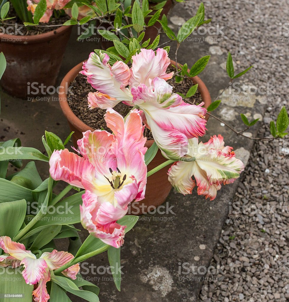 Red and white striped parrot tulips. stock photo