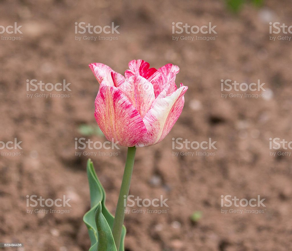 Red and white striped tulip in spring bloom. stock photo