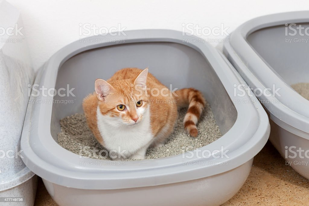 Red and white tabby cat uses litterbox stock photo