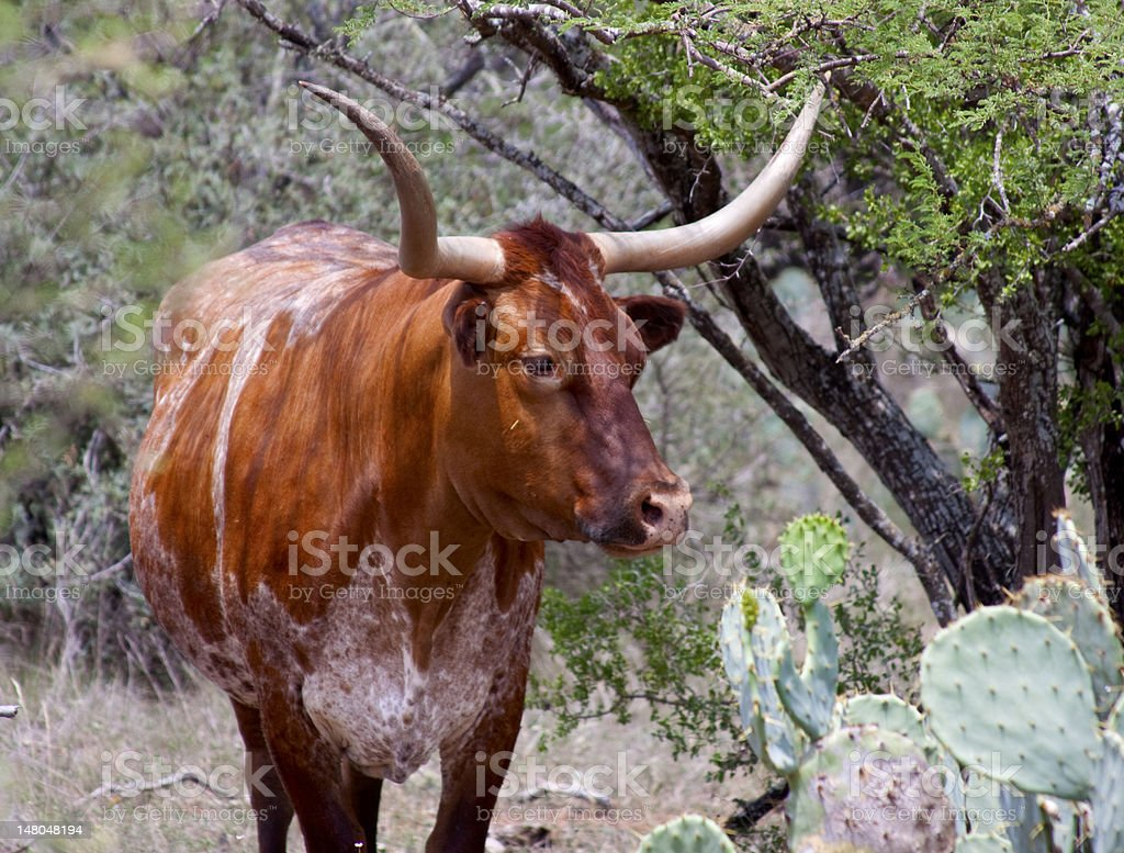 Red and White Texas Long Horn Cow royalty-free stock photo