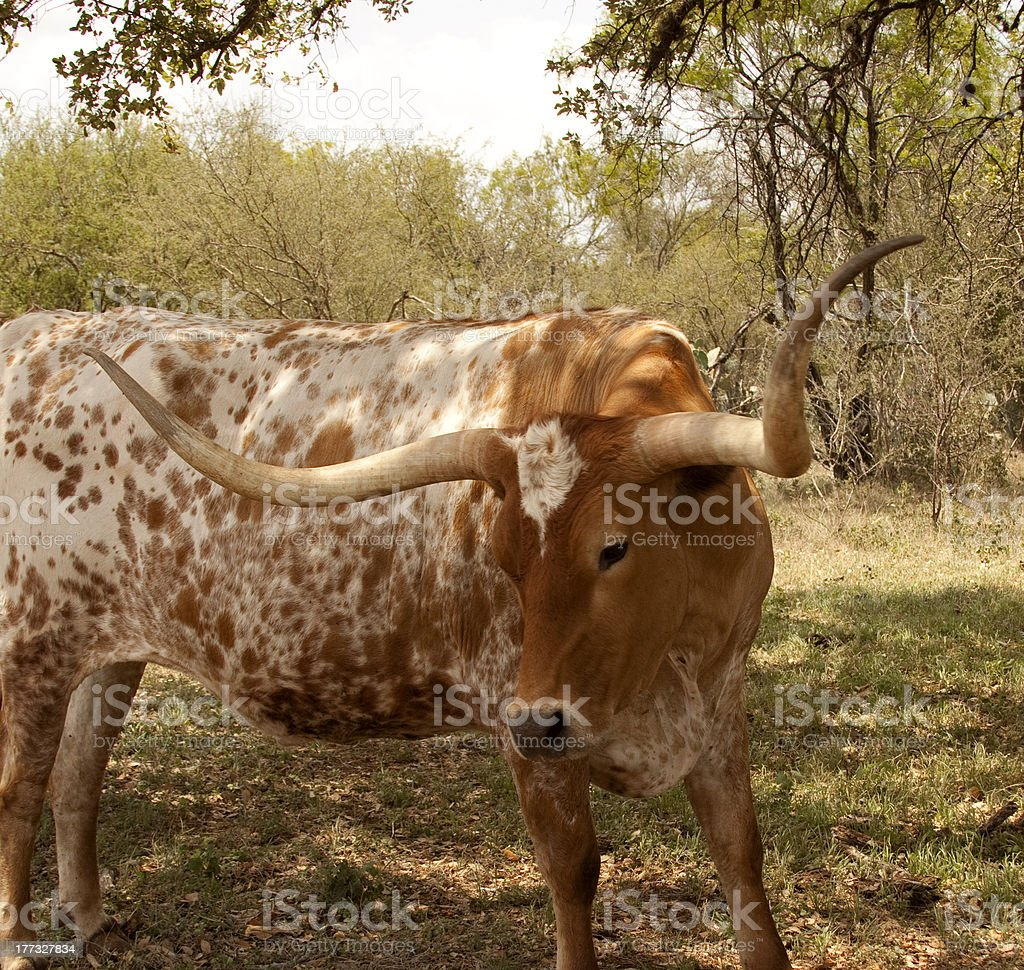 Red and white Texas Longhorn Cow royalty-free stock photo