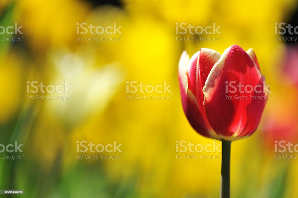 Red and white tulip, flower garden royalty-free stock photo