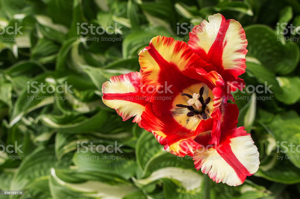 Red and White Tulip stock photo