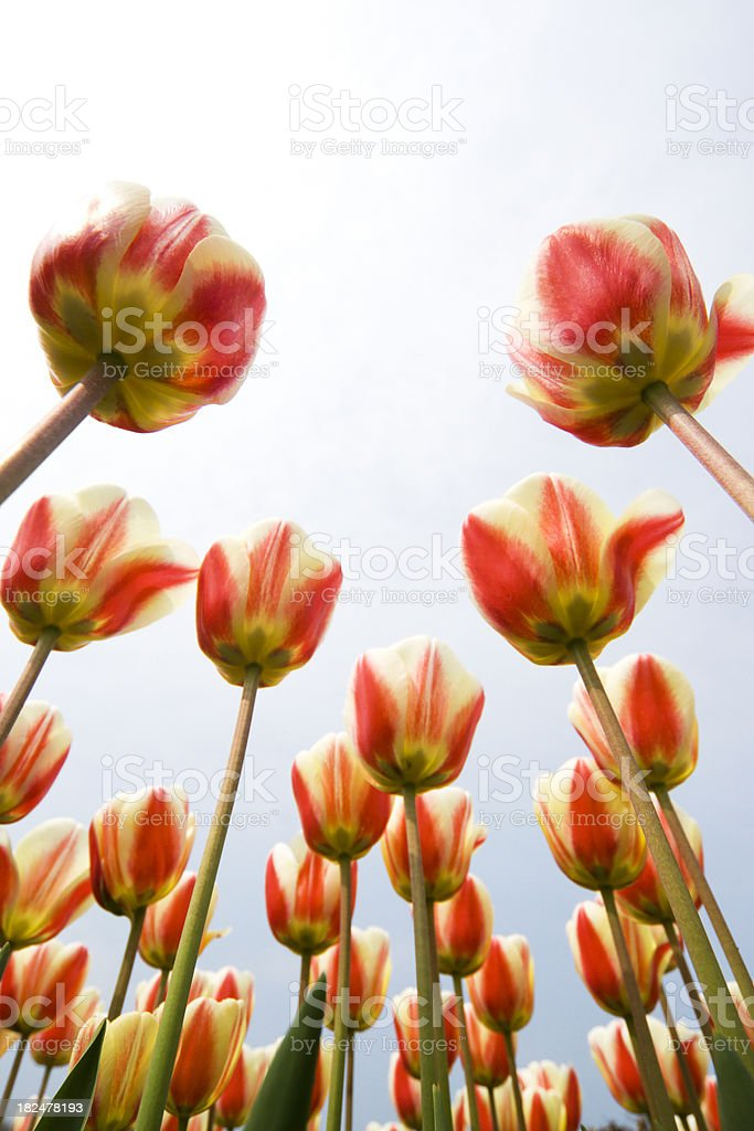 Red and white Tulips seen from below stock photo