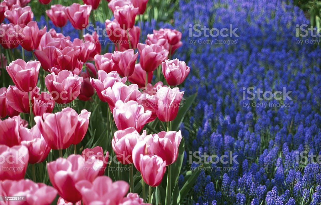 Red and white tulips, with Grape Hyacinths. stock photo