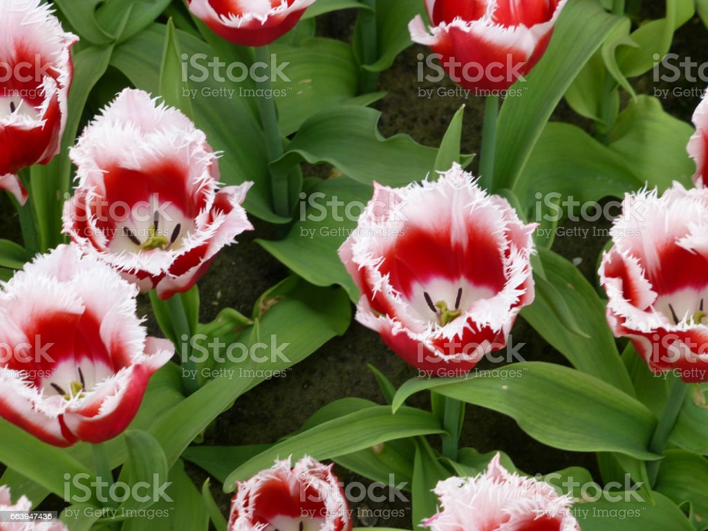 Red and white tulips with toothed petals stock photo