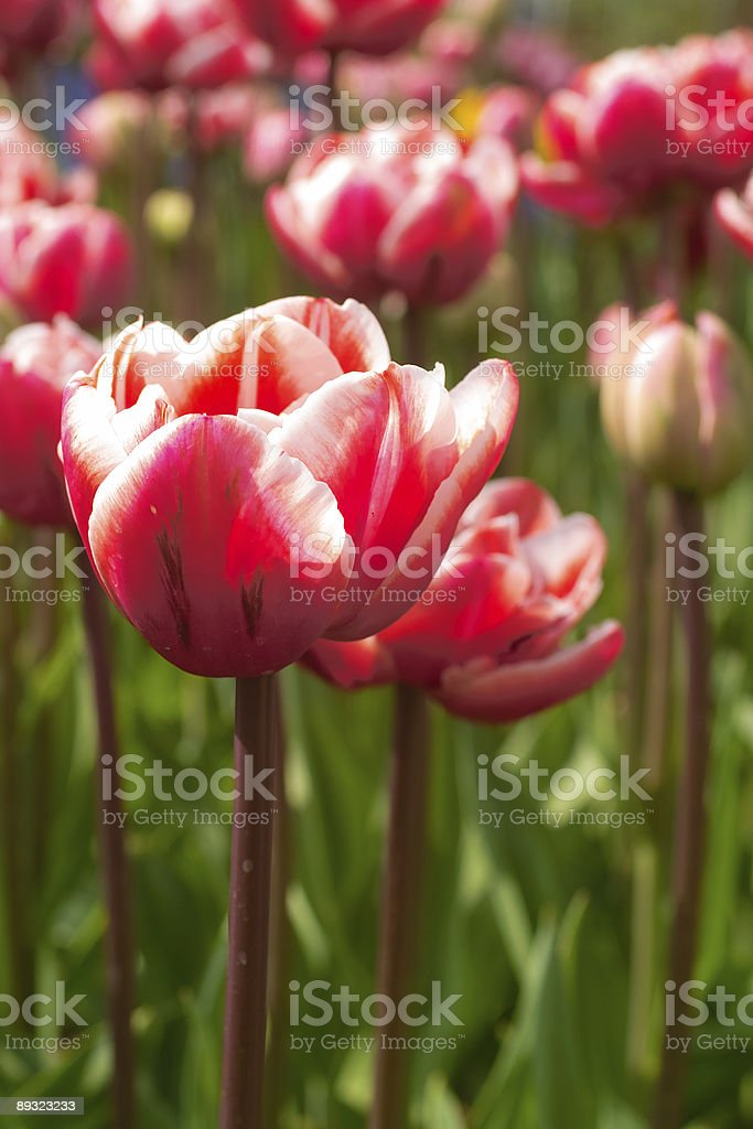 red and whte tulip stock photo