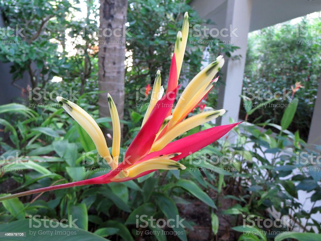 Red and yellow Bird of Paradise Plant stock photo