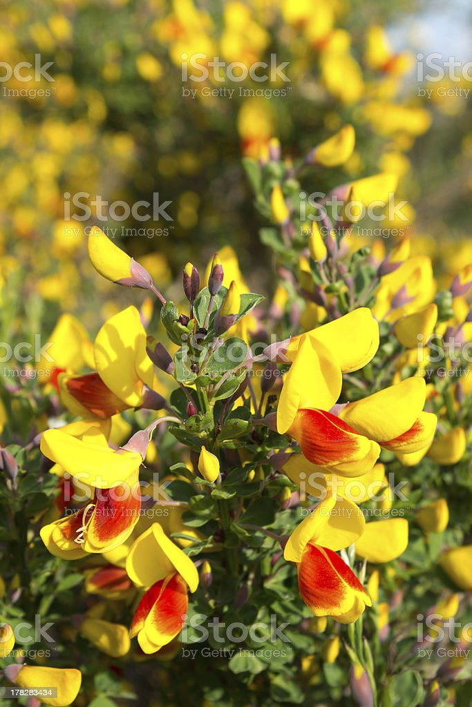 Red and yellow blooming broom stock photo
