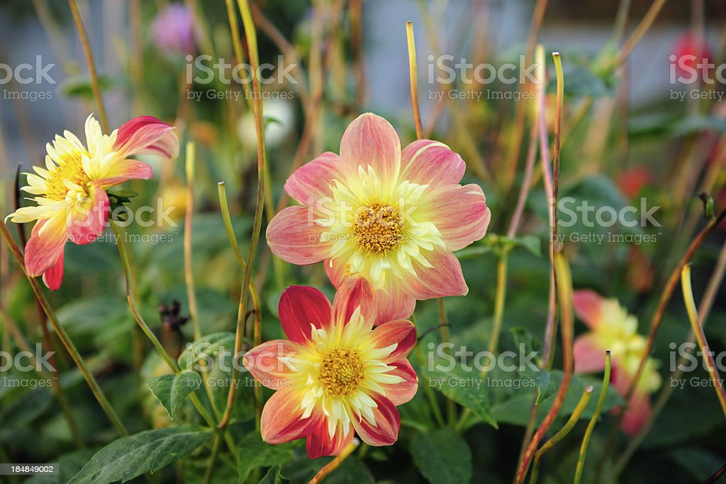 Red and yellow blooming Dahlia stock photo