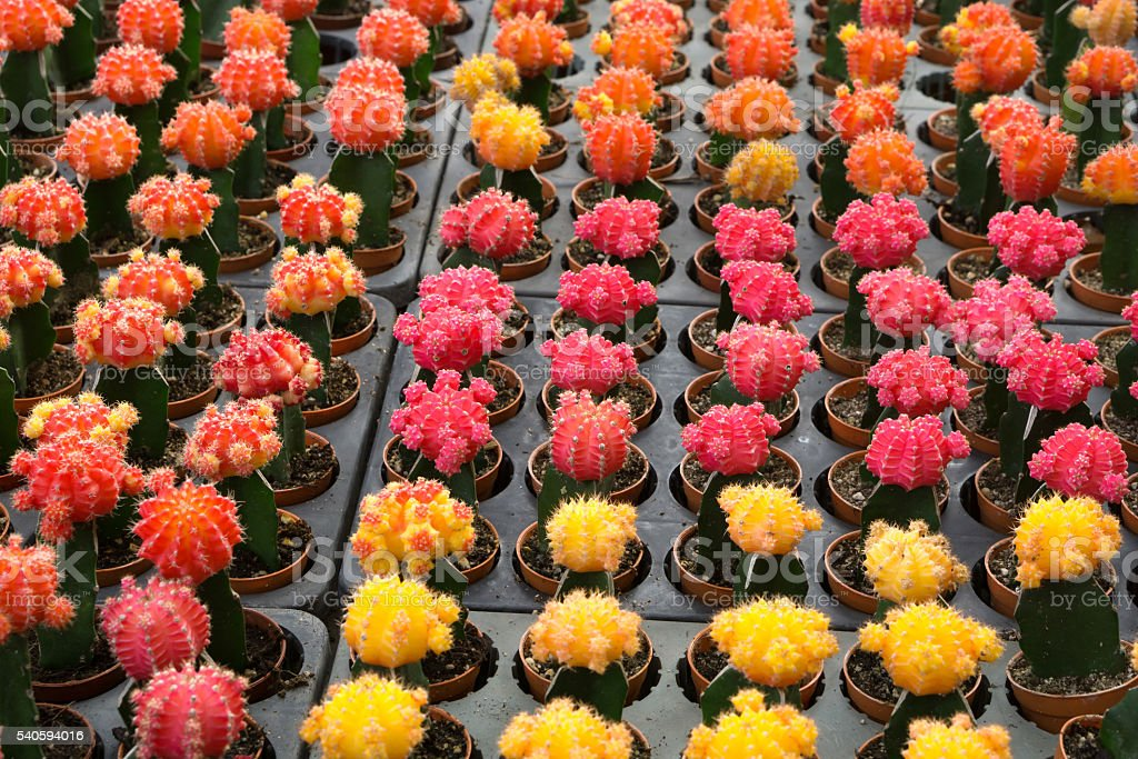 Red and yellow cactus desert plant. stock photo
