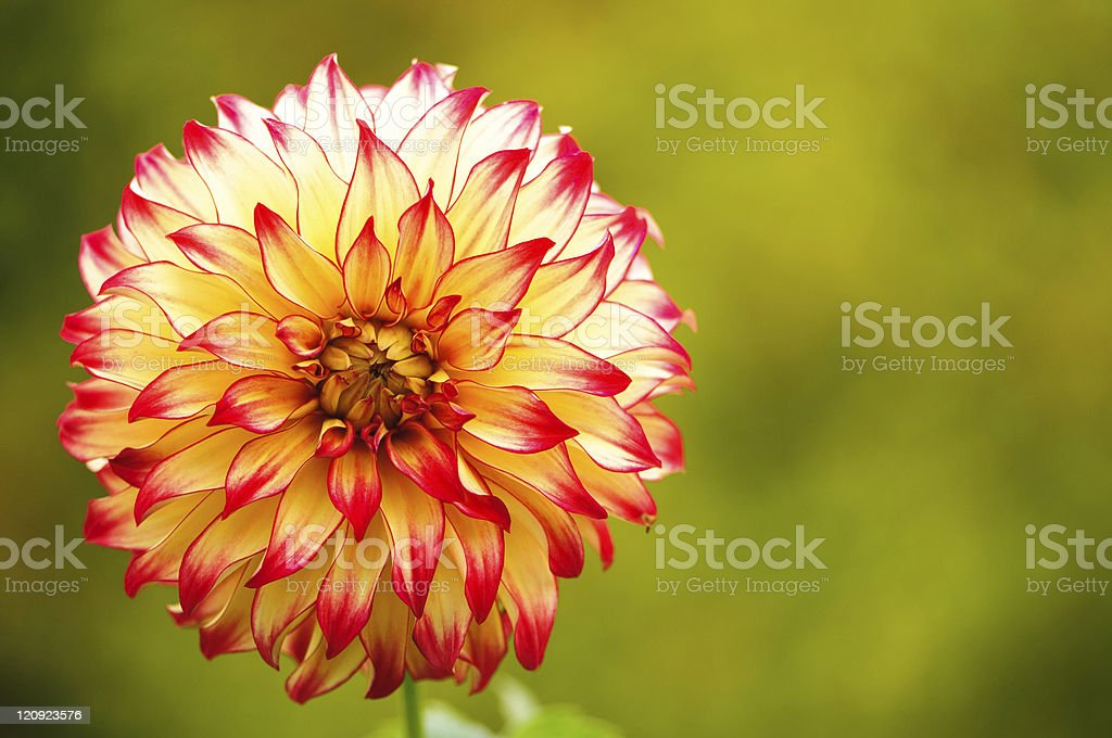 Red and Yellow Dahlia royalty-free stock photo