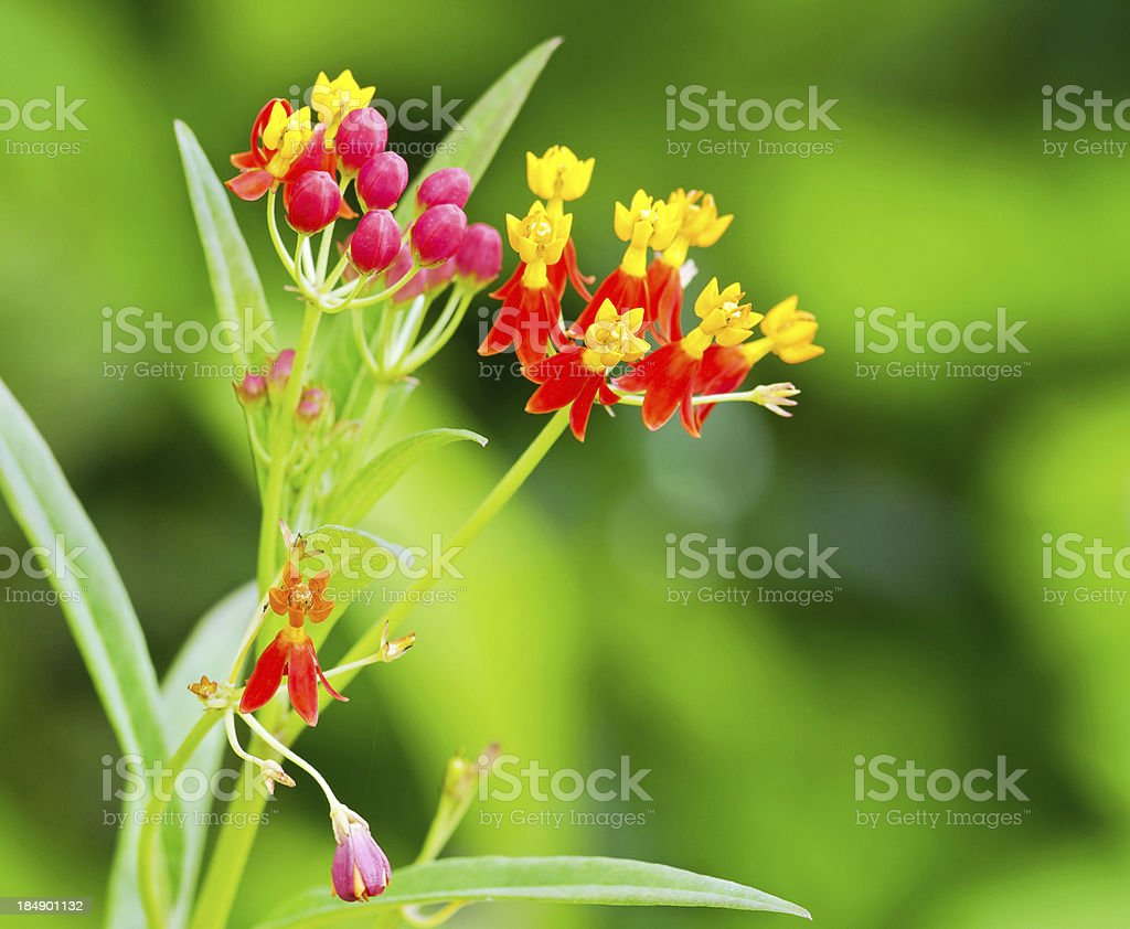 Red and yellow flower plant royalty-free stock photo