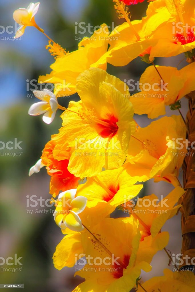 Red and Yellow Hibiscus Flowers stock photo