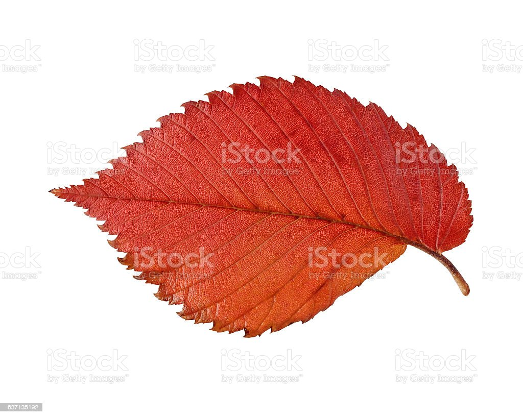 Red and yellow leaf elm isolated on white background. stock photo