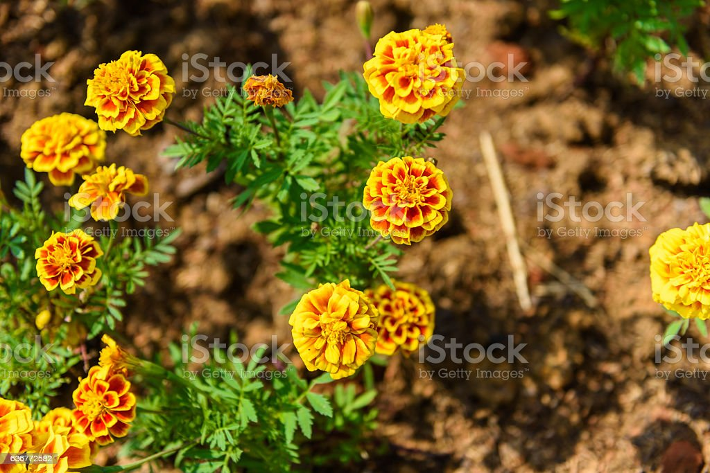 Red and Yellow Marigold Flower stock photo