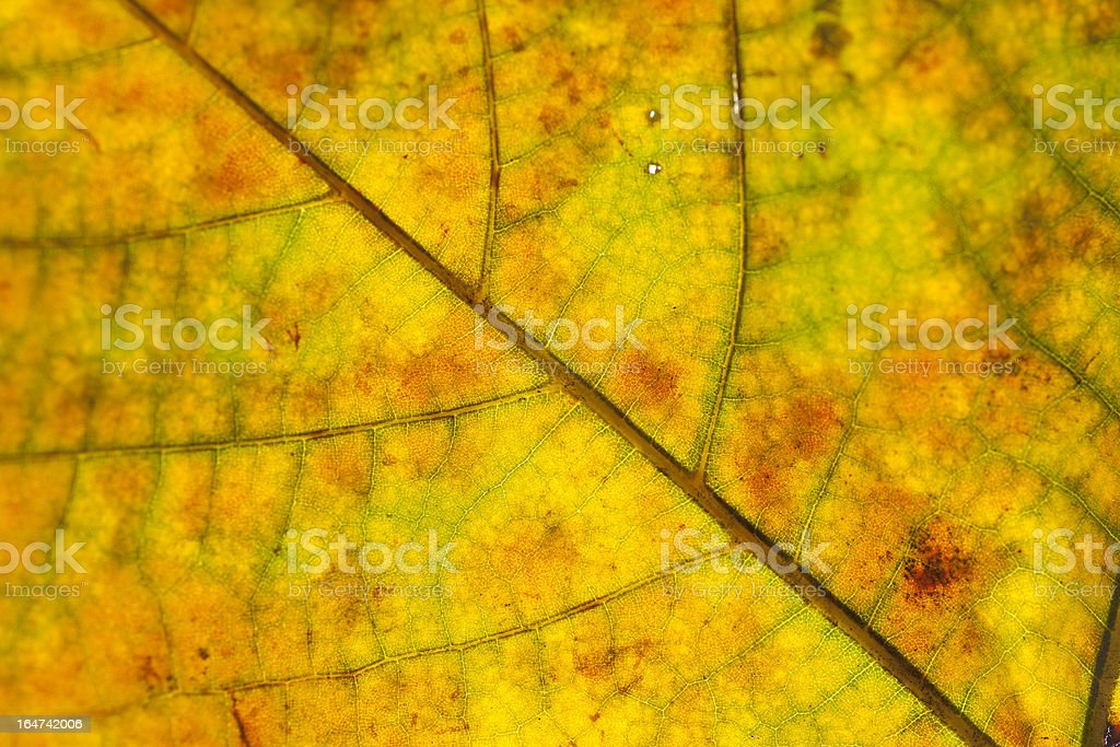 red and yellow plane tree leaf's cells royalty-free stock photo