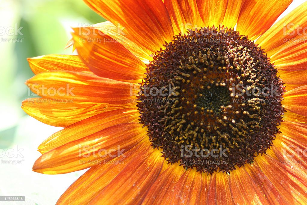 Red and yellow Sunflower royalty-free stock photo