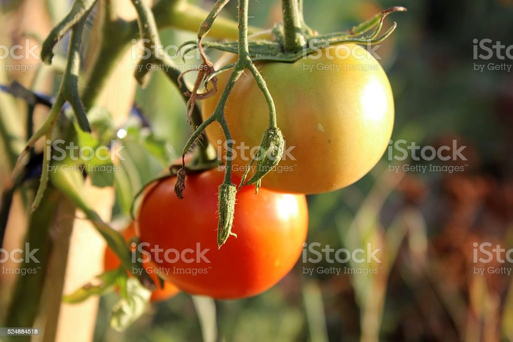 Red and yellow tomatoes hanging on the branch. stock photo