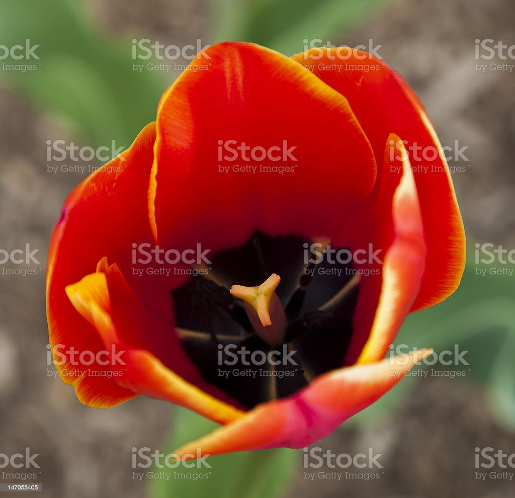 Red and Yellow Tulip Macro royalty-free stock photo