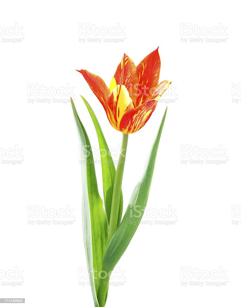 Red and yellow  tulip on white background royalty-free stock photo