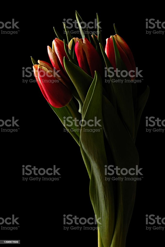 Red and Yellow Tulips 4 royalty-free stock photo