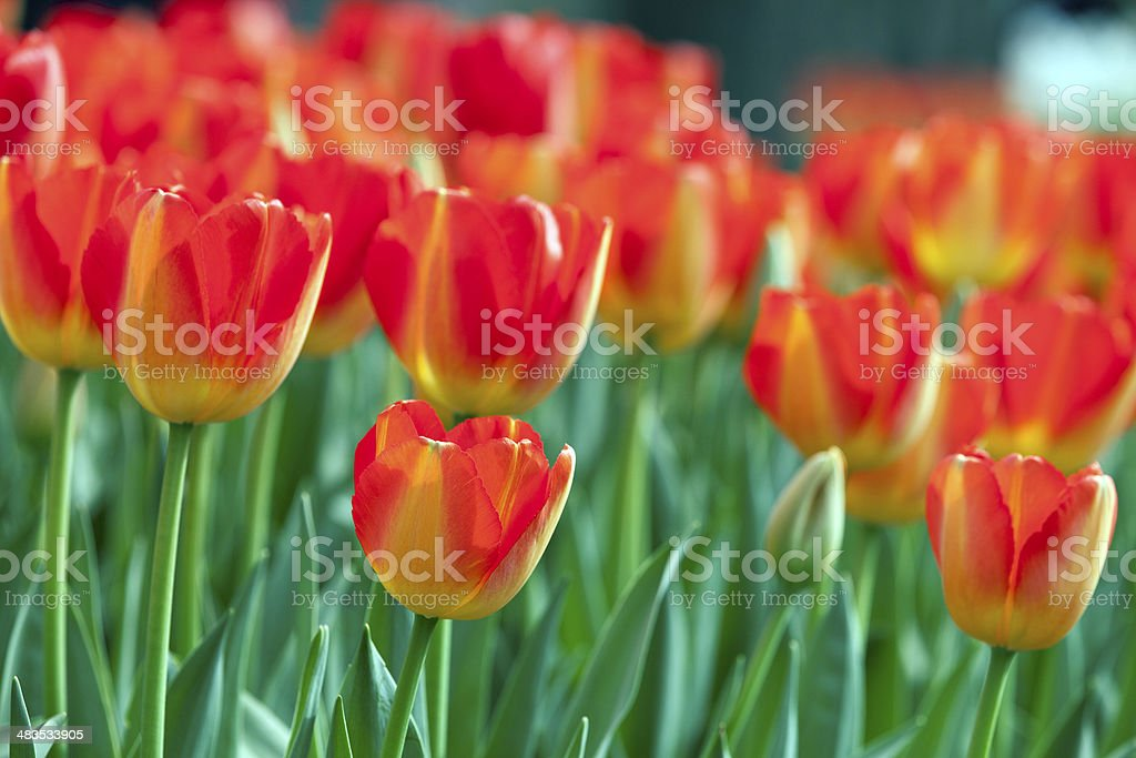 Red and Yellow Tulips in Botanic Garden royalty-free stock photo