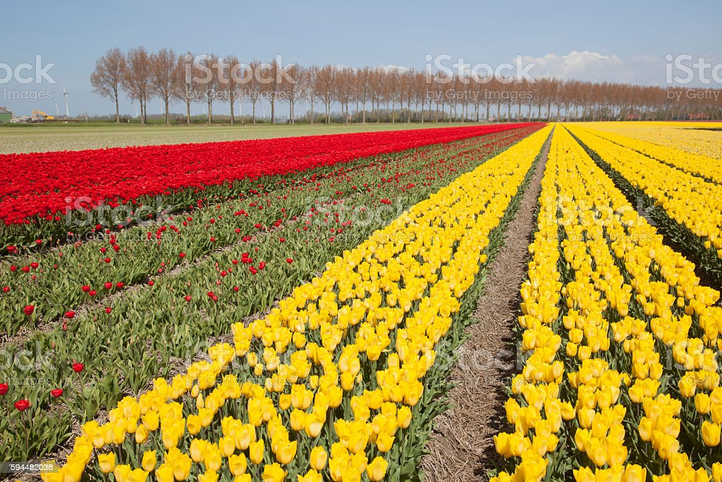 red and yellow tulips in dutch landscape with trees stock photo