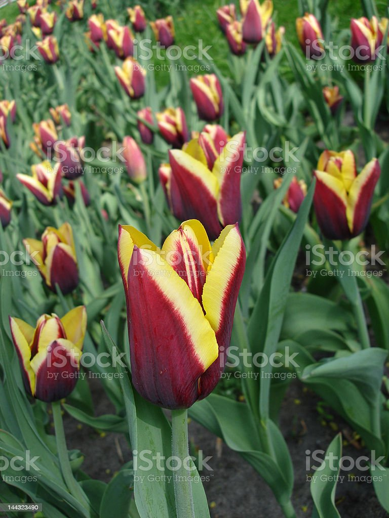 Vermelho e amarelo Túlipas no parque foto de stock royalty-free
