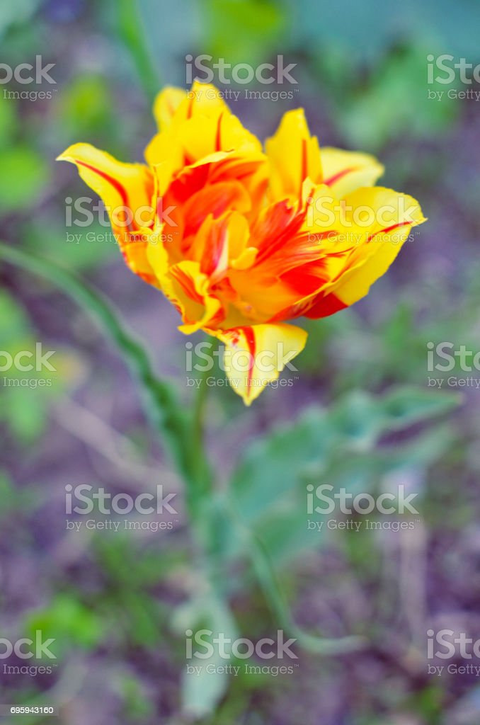 Red and yellow tulips with selective focus stock photo