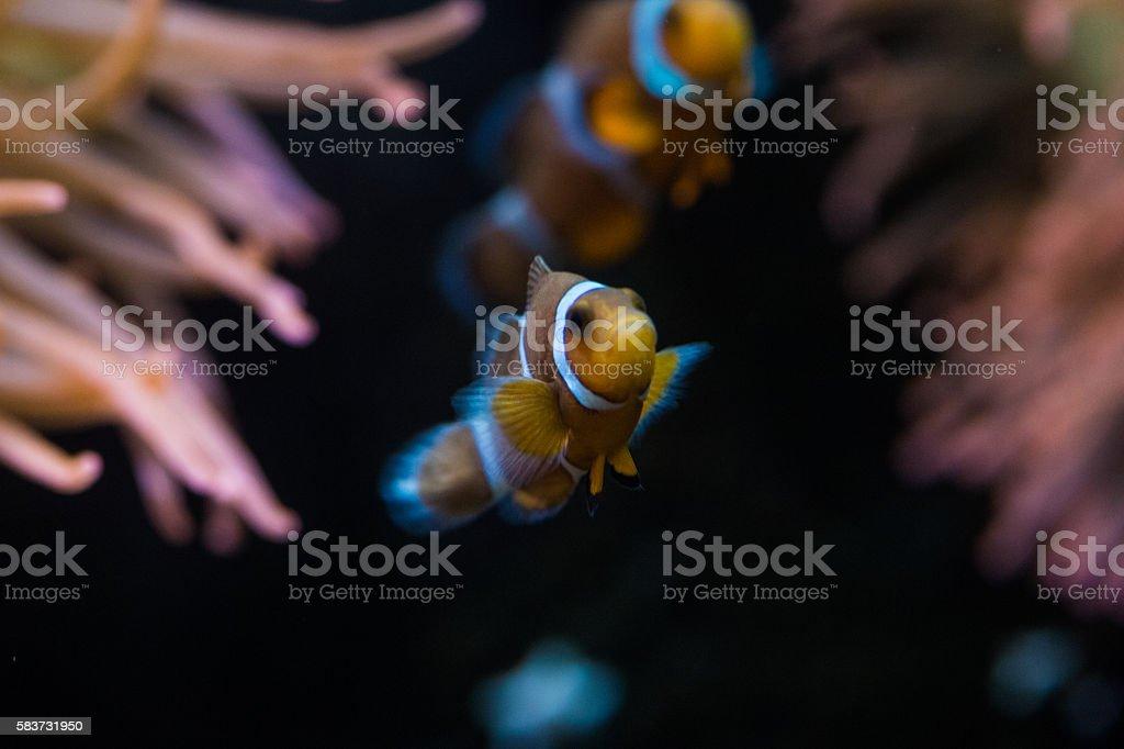 Red anemone and anemonefish stock photo