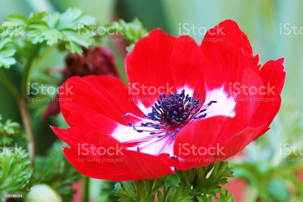 red Anemone coronaria flower red white stock photo