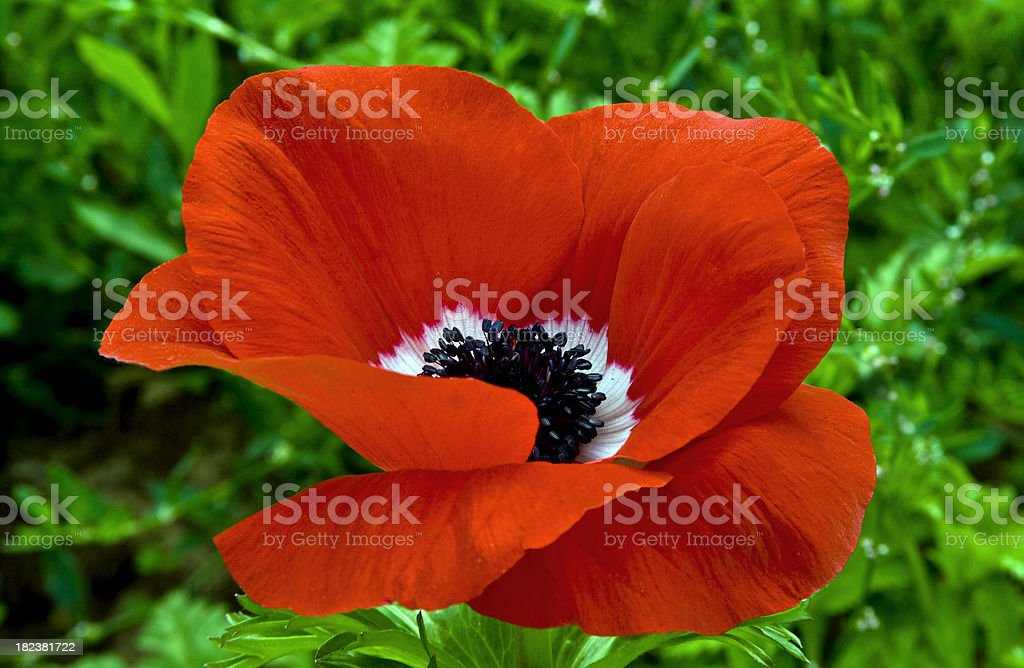 red anemone flower in green  field royalty-free stock photo