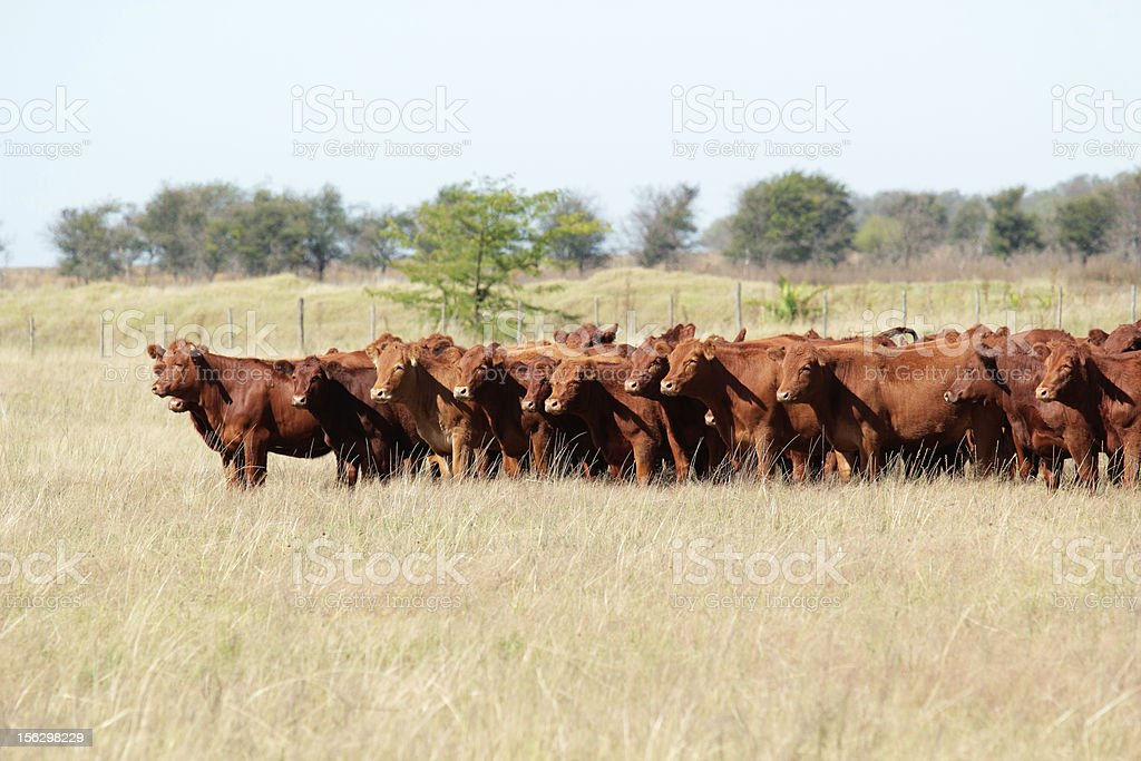 Red angus cattle stock photo