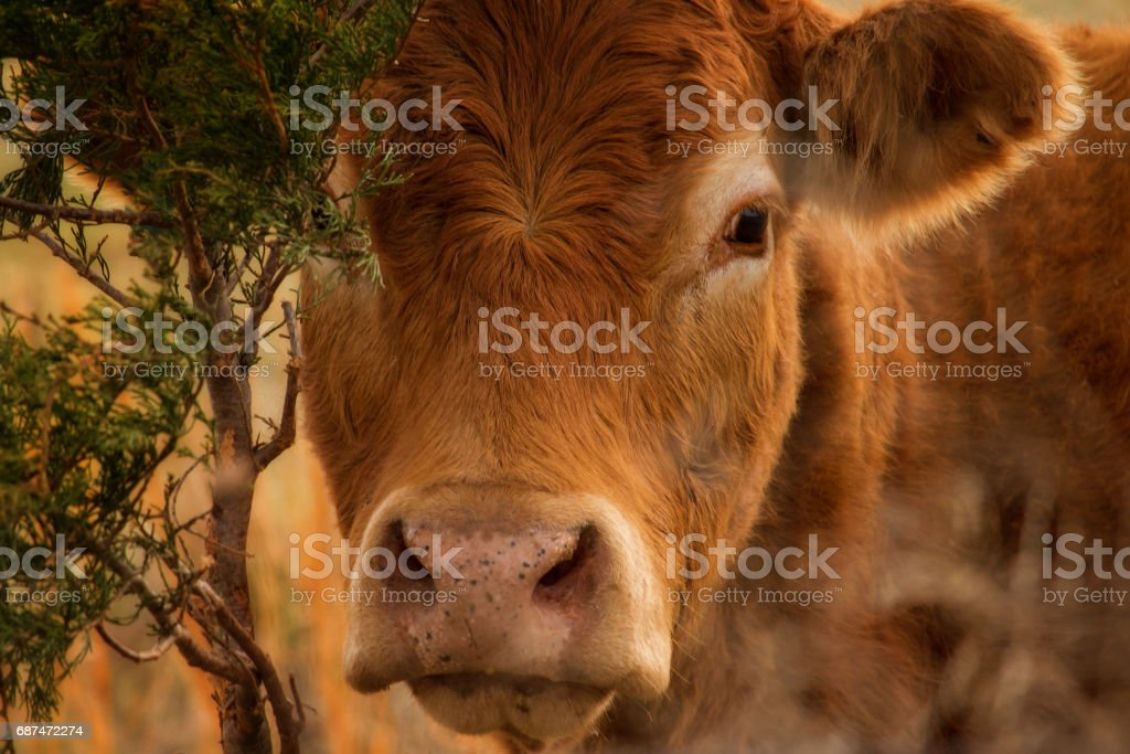 Red Angus Head stock photo