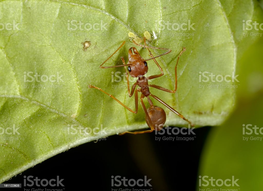 Red Ant and Aphids royalty-free stock photo